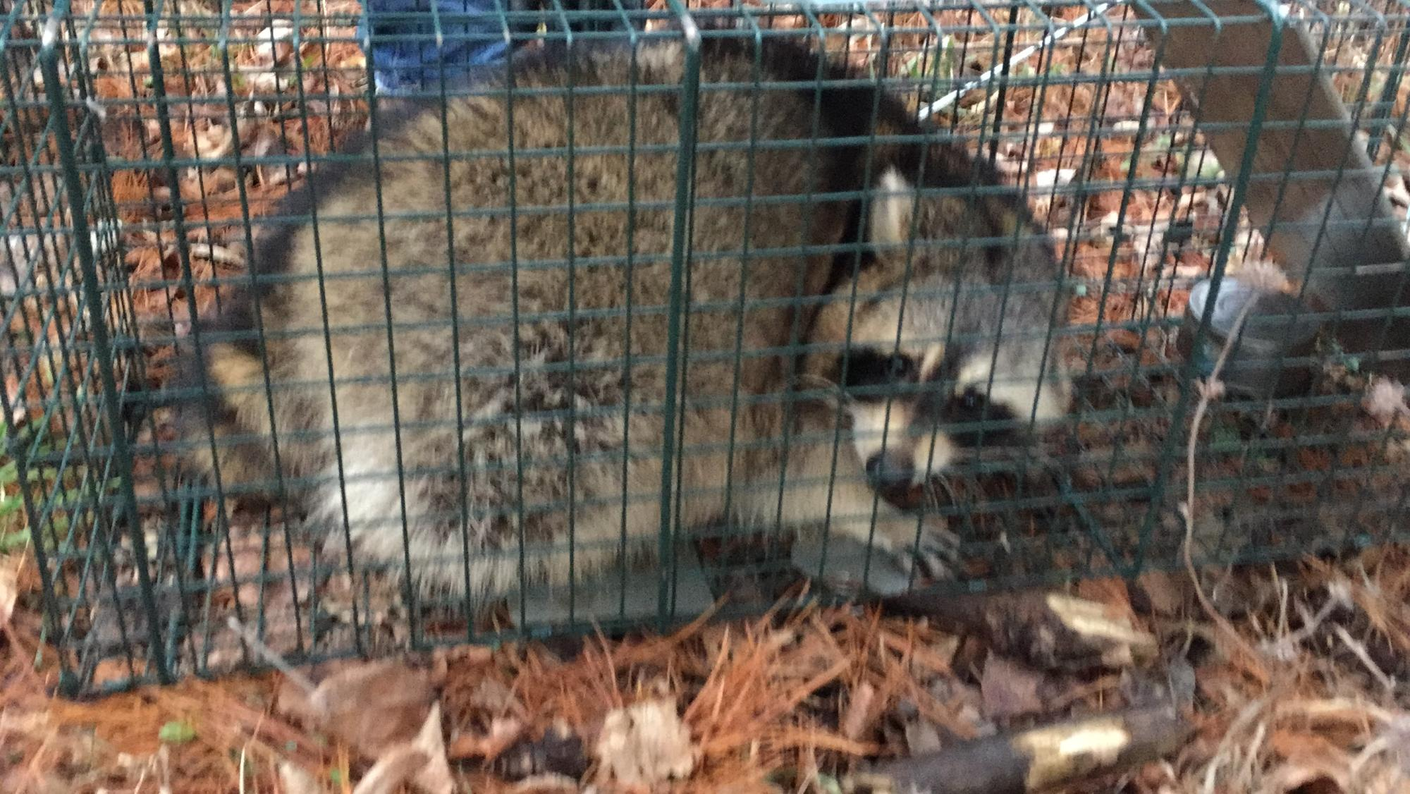 Austin Raccoon Removal And Control